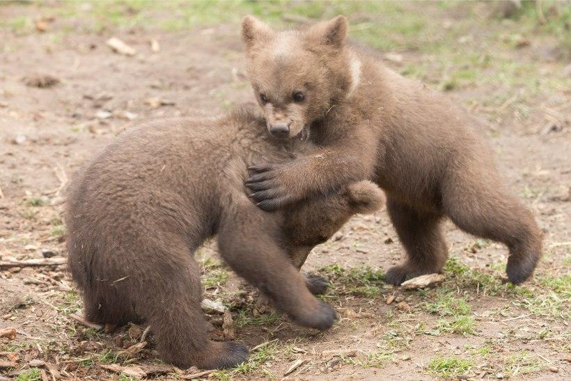 PÖÖRANE SEIKLUS! Näljased karud murdsid sisse tippratturite ööbimiskohta