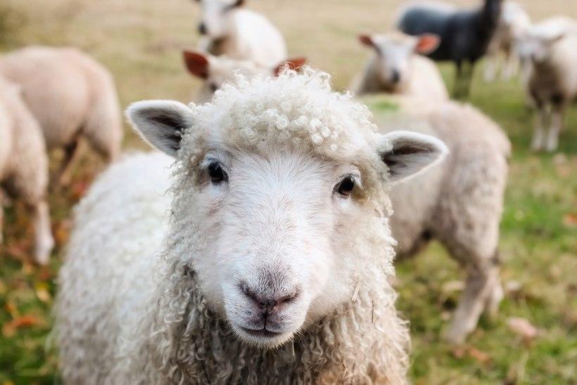 LOOMAD AINULT SUVEKS! Mida pead teadma, kui plaanid rentida lambad või kitsed?