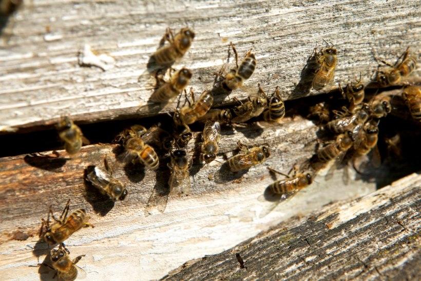 ENDINE KIIRABIARST: allergia putukate nõelamise vastu võib tekkida suvalisel eluhetkel