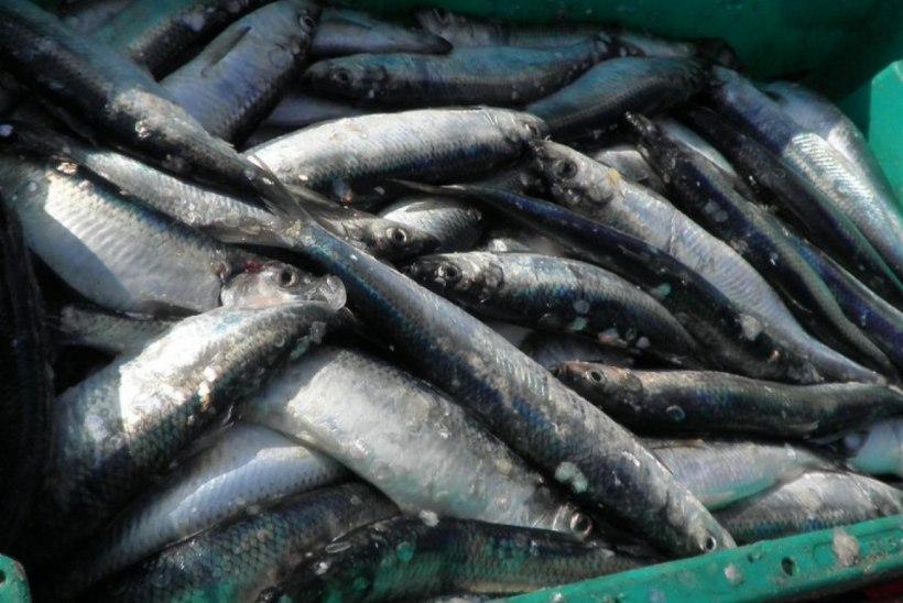 Galerii: Vormsil peeti kalapäeva