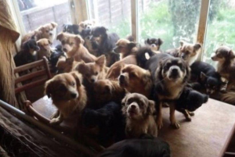 Loomakaitsjad päästsid Inglismaal räpasest majast 82 chihuahuat
