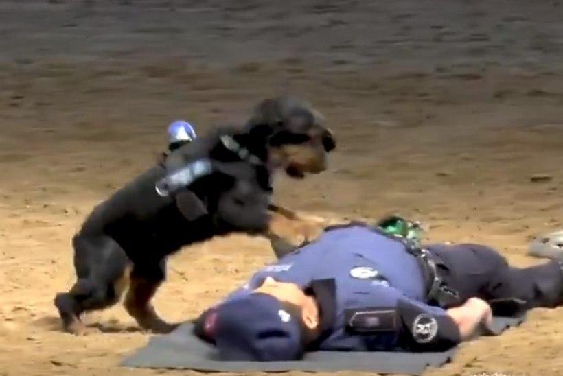 VIDEO | Hämmastav! Vaata koera, kes oskab inimest elustada
