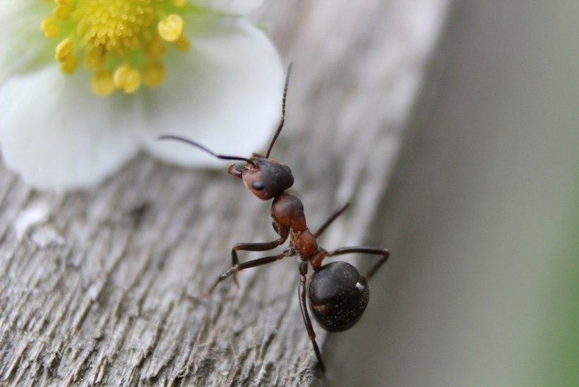 2 käepärast toiduainet, mille abil peletad sipelgad toast minema