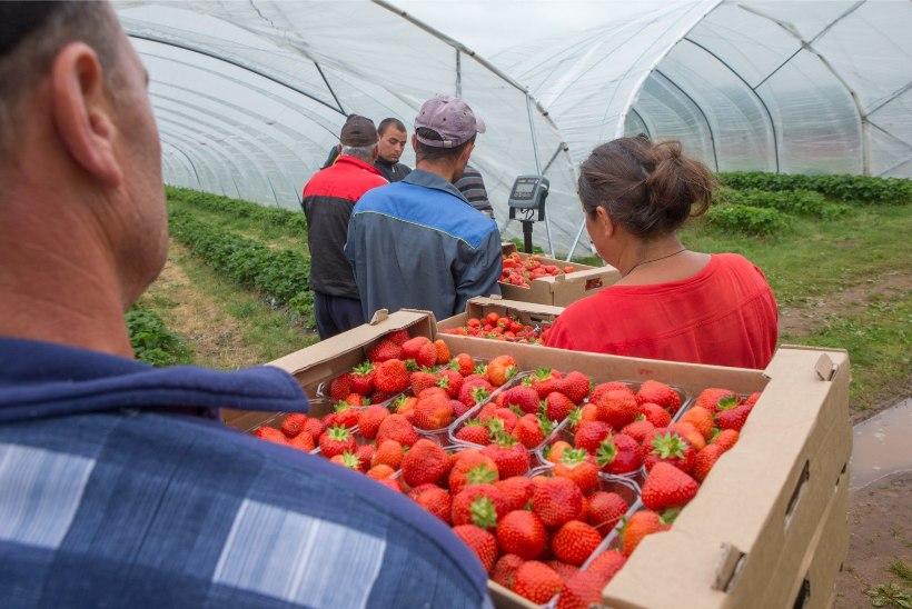 Maasikakasvatajad eelistavad marjakorjamisel võõrtöölisi