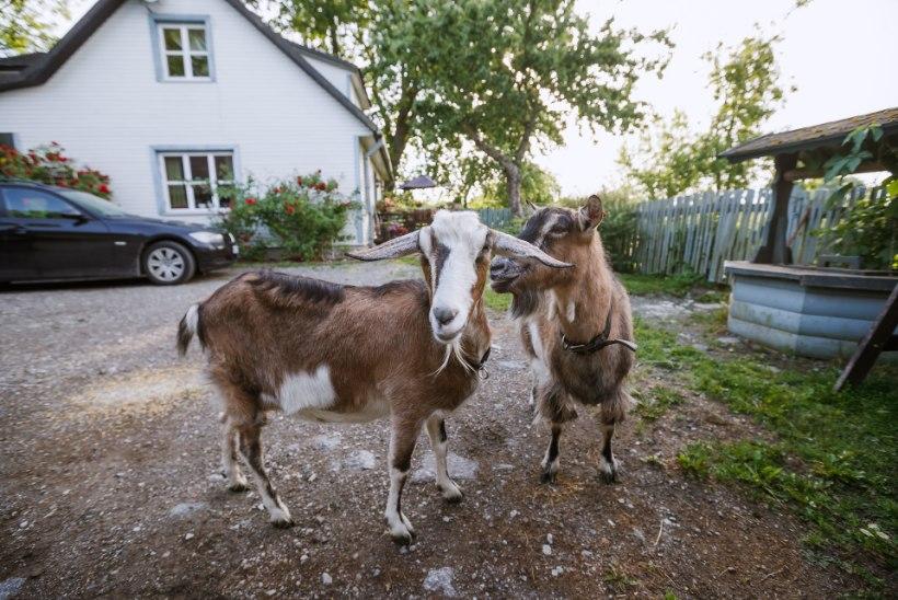 VIDEO | Kiviviske kaugusel paneelelamutest kasvatab vanamemm Tallinnas kitsi