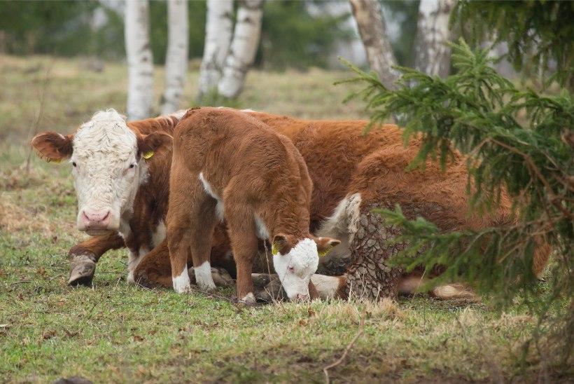 GRAAFIK | Eestis saavad kariloomad kümneid kordi rohkem antibiootikume kui Norras