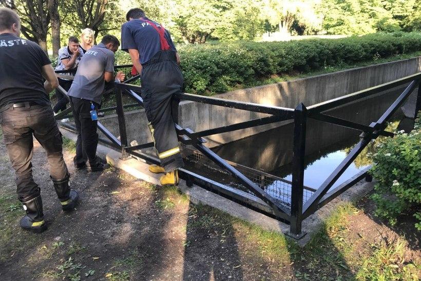 FOTOD | Kadrioru pargis jäid äravoolukanalisse kinni pisikesed kosklatibud