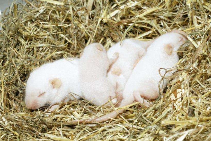 Geeniteraapia tegi kurdid hiired kuuljateks