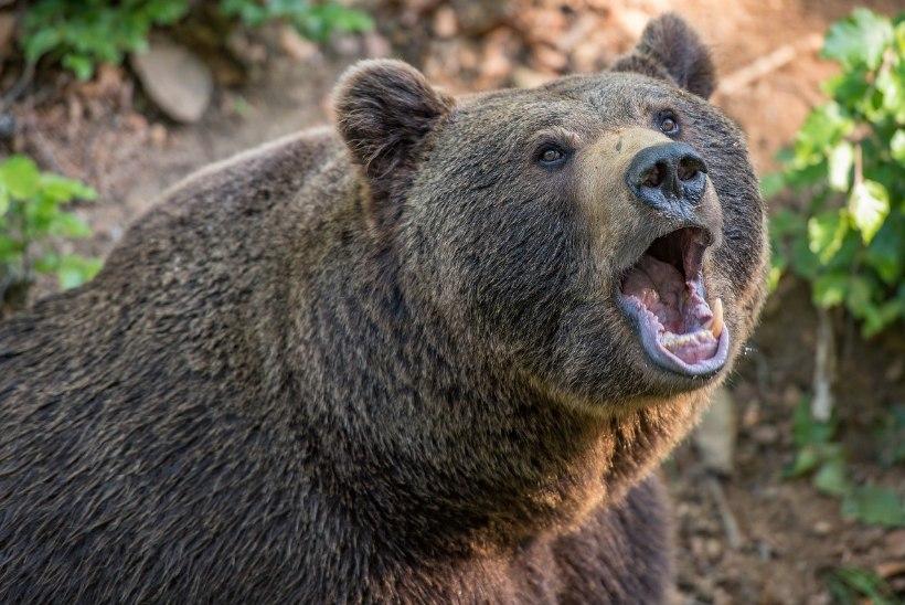 Jahimehed hoiatavad: karud on liikvel!