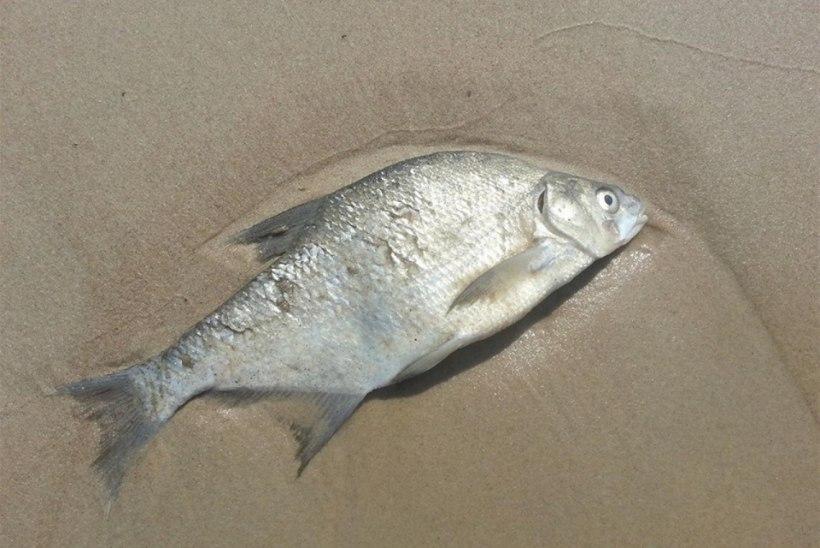 Pärnumaa rannikul surnud kalad – mis toimub?