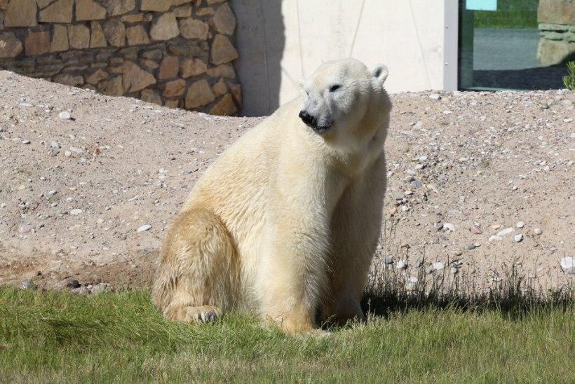ÕL VIDEO   Jääkaru Nord naudib uut elukohta