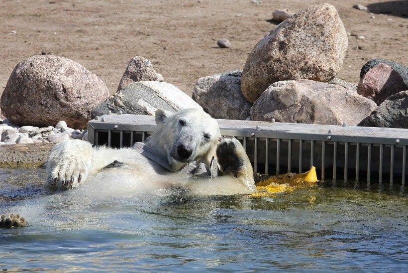 FOTOUUDIS | Vaata, kuidas jääkaru Friida loomaaias ilusat ilma naudib