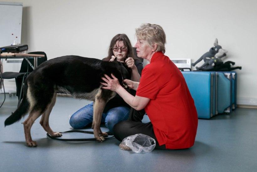 VIDEO | Loomamassöör peab olema valvel: kuidas hoiduda hammustustest ja kabjahoopidest