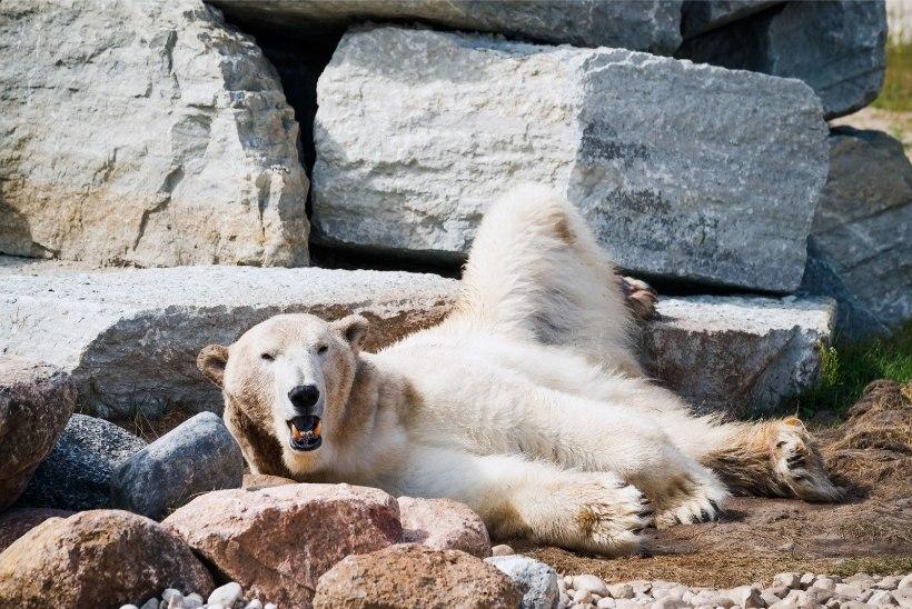 ÕL VIDEO JA GALERII | Tallinna loomaaia jääkaru Nord peab sööma antidepressante