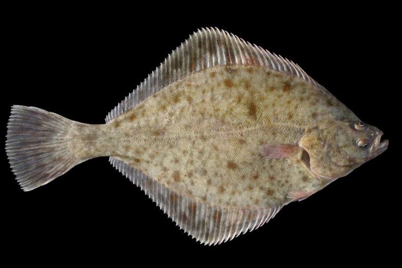 Soomlased kirjeldasid esimest ainult Läänemeres elavat kalaliiki