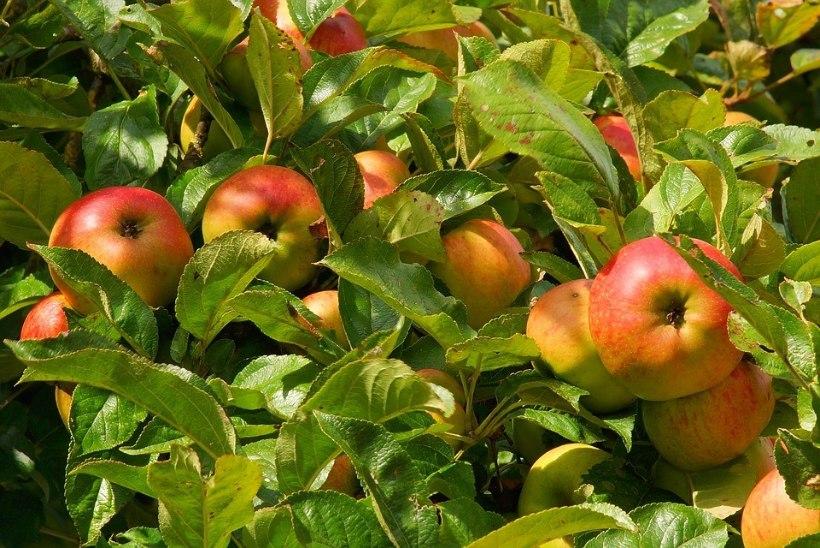 Soovitused aednikule: Viljapuude hooldustööd juulis