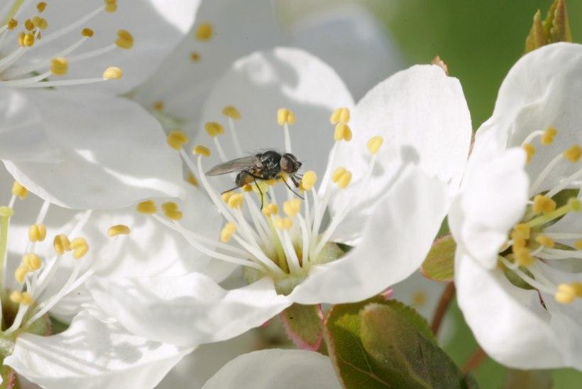 TOP 6 | Millised on Eesti kõige tüütumad putukad