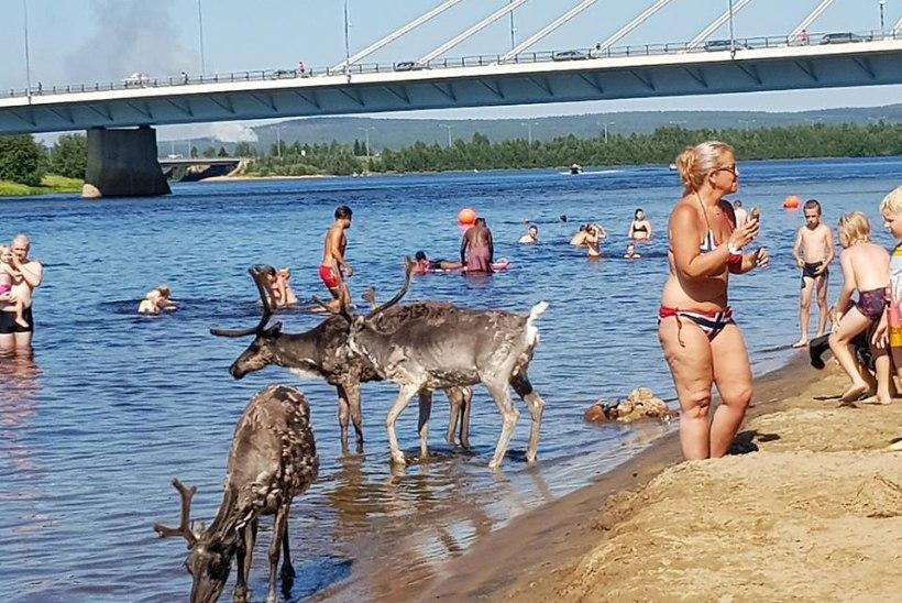 PILTUUDIS | Rovaniemis ajas palavus põhjapõdrad koos inimestega vette