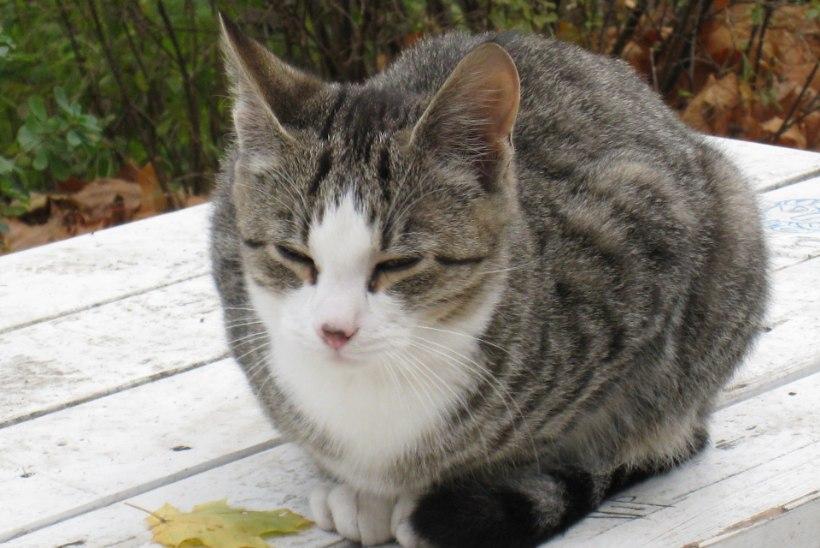 TEADLASED: kasside väljaheidetes elutsev parasiit tekitab inimestes ärivaimu