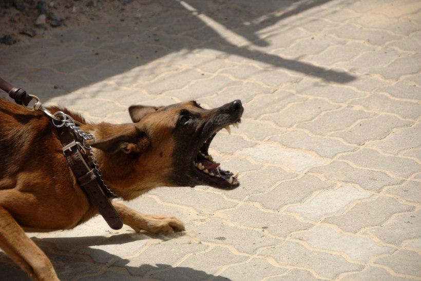 PALJAD HIGISED MEHED   Kes jääb peale: staažikas maadleja või teravate hammastega koer?