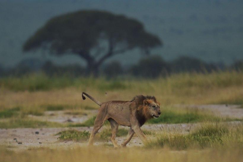 Lõuna-Aafrikas tapsid lõvid kaks salakütti