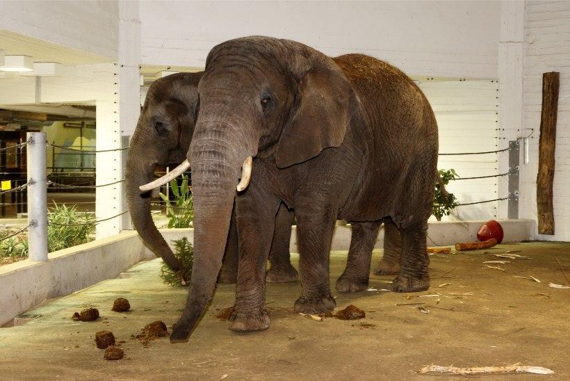 VIDEO | Tallinna loomaaias tähistati üleilmset elevantide päeva