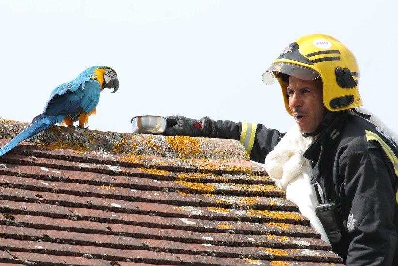 VIDEO | Katusele lennanud papagoi pildus päästjatele roppusi