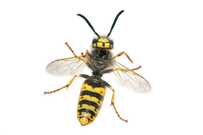 Ettevaatust! Putukaallergia risk suureneb iga järgmise nõelamisega