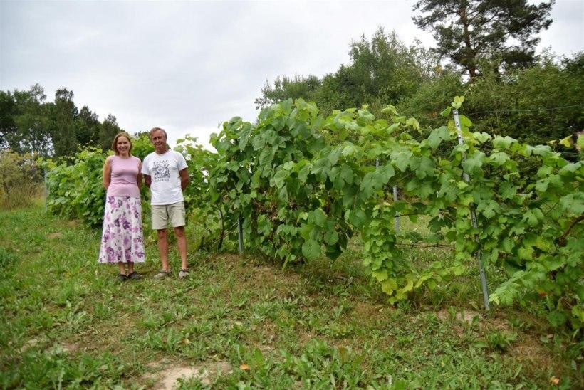 KÜLAS EESTI TALUDES | Vajadus pensionipõlve kindlustada pani Uue-Saaluse rahva veini valmistama
