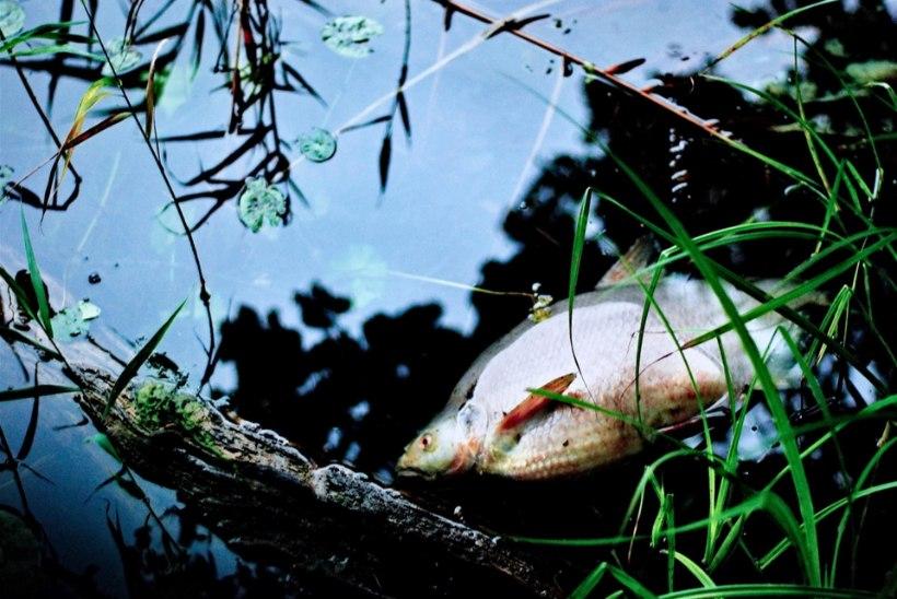 Peipsi kalade massiline hukkumine on tingitud palavusest