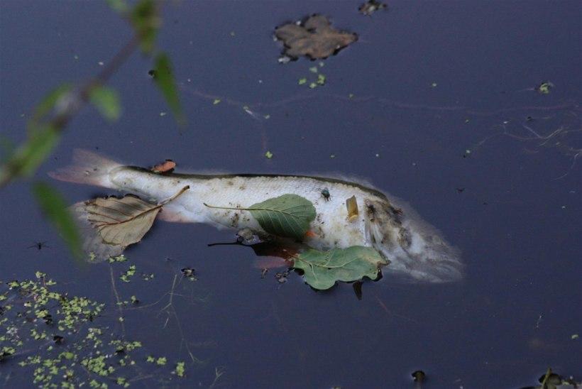 Minister Kiisler peatab kalade massihuku tõttu Peipsil mõrrapüügi