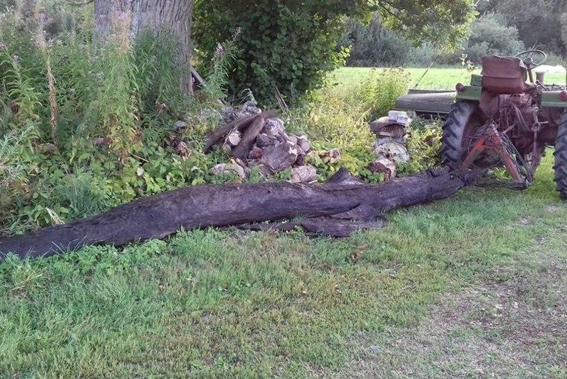 Talumees leidis jõest üliväärtusliku musta tamme