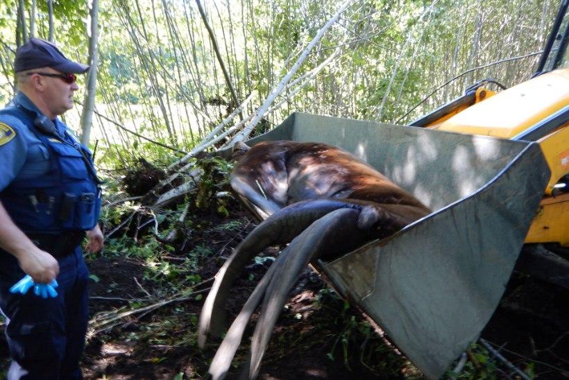 GALERII | UIH! Kuidas päästeti elumajade vahel ekselnud hiiglaslik merilõvi