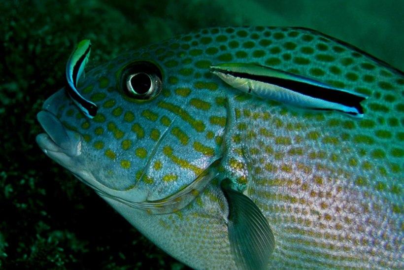 Kala tunneb end peeglist ära