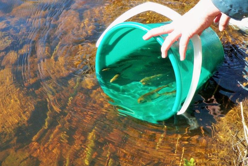 Kalade märgistamisest ja märgistatud kalade taaspüügiandmete kogumisest RMK Põlula kalakasvatus-keskuses
