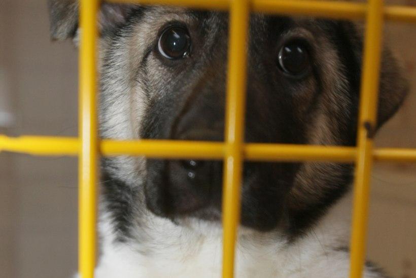 KOERAOMANIKUD MURES: kas Tallinna loomakiirabi on pädev ööpäevaringset teenust pakkuma?