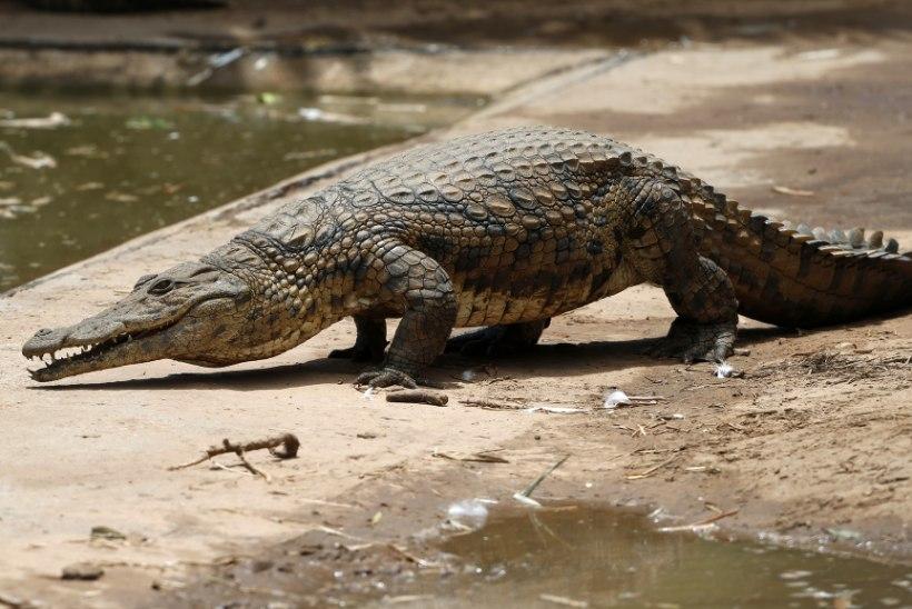 KOHUTAV: krokodill sõi ema koos viiekuuse beebiga ära