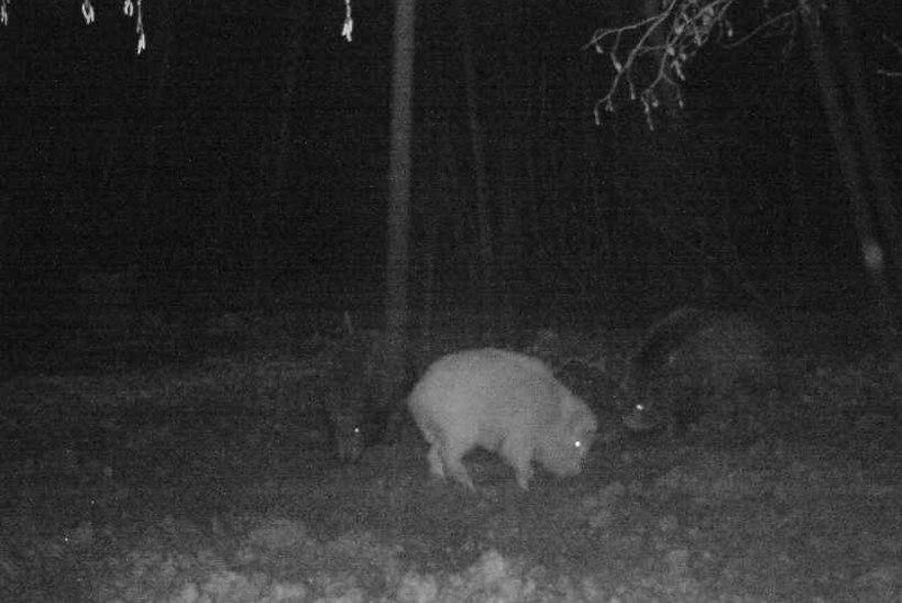 HARULDANE VAATEPILT: Viljandimaal jäi rajakaamerasse valge metssiga