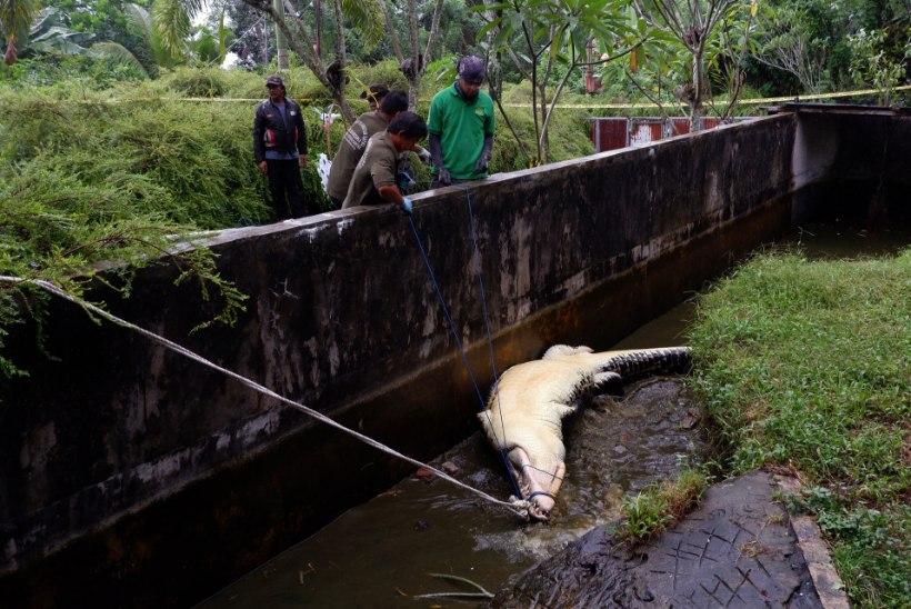 KOHUTAV: suur krokodill tappis teda toitnud naisteadlase