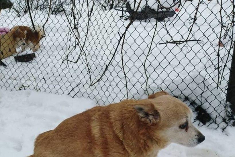 Maha murtud koera perenaine: ma poleks elu sees arvanud, et hunt üle aia hüppab ja niimoodi tuleb. Kohutav! Košmaar!