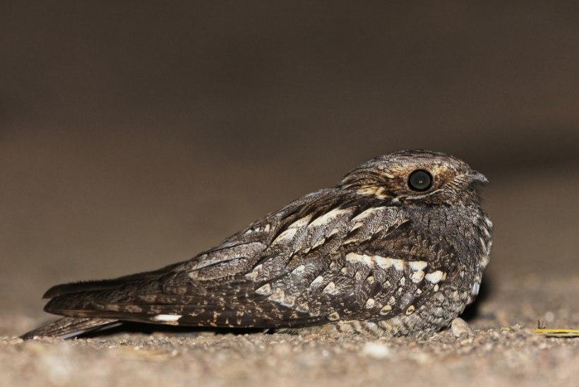 Aasta loom muudab maastikku nagu harvester, aasta linnule võib kogemata peale astuda