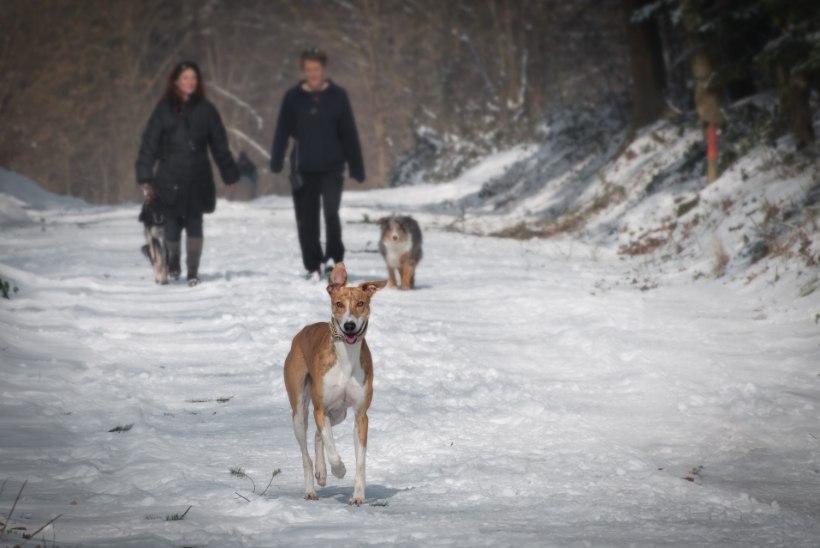 Hea teada! Mida peaks arvestama koeraomanik, kui väljas on miinuskraadid?