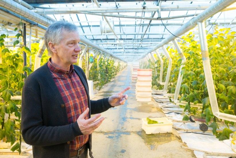 Hinnavõluritest kaupmehed: aiand müüb Luunja kurki kõigile sama hinnaga, hinnaerinevus tekib poes