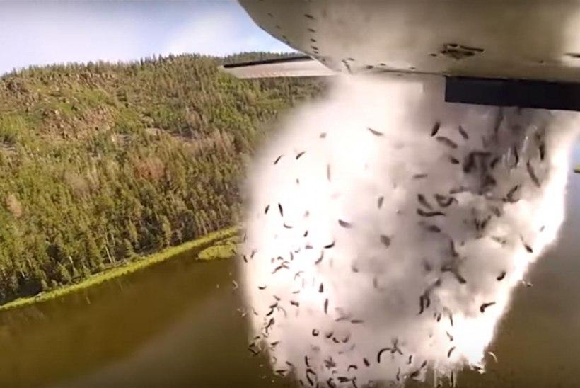 Enne ujumist lendama: USA keskkonnaametnikud külvavad kalamaime lennukist