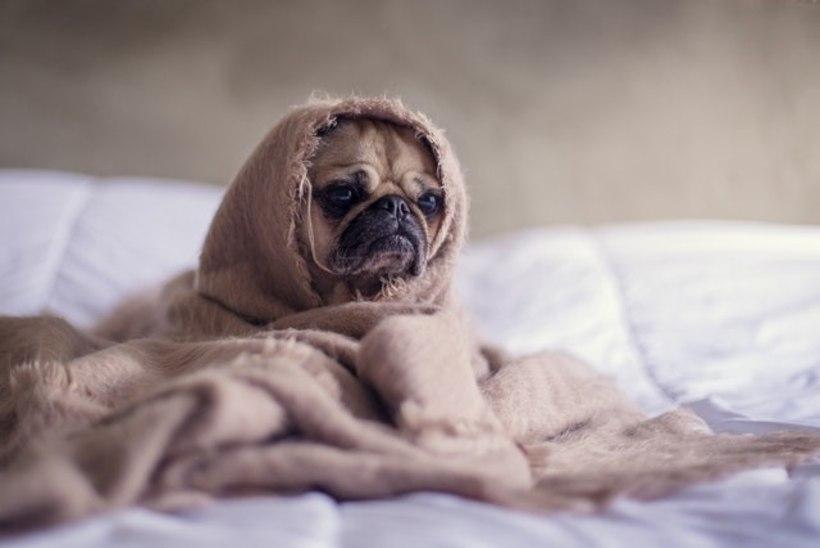 Usu või ära usu - viinasokid võivad viia ka koera haiguse