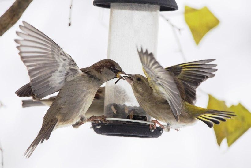 Lindude talvine toidulaud: kes on riiukukk, kes sööb pudemeid?