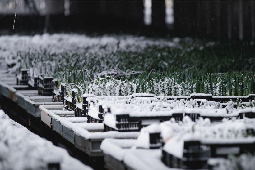 Nurmiko juht: aiandi taastamiseks kulub aasta ja 3 miljonit eurot