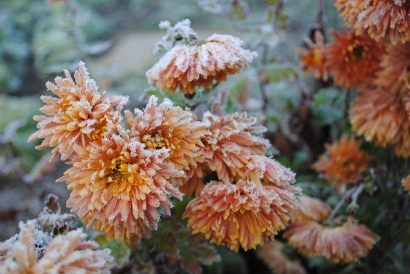 Sügis aias: asu taimi talve eest kaitsma pigem ilmateate kui kalendri järgi