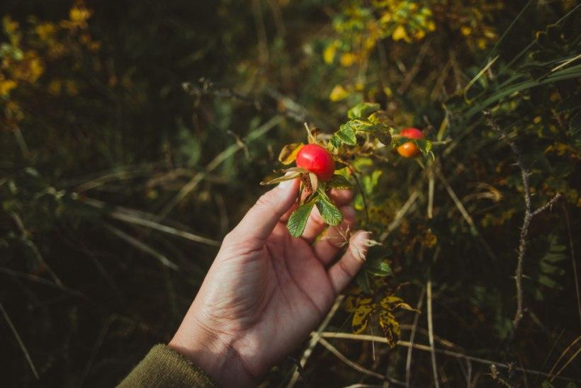 Suure vitamiinisisaldusega jõuline kibuvits: hinnatud nii loodusravis kui nahahoolduses