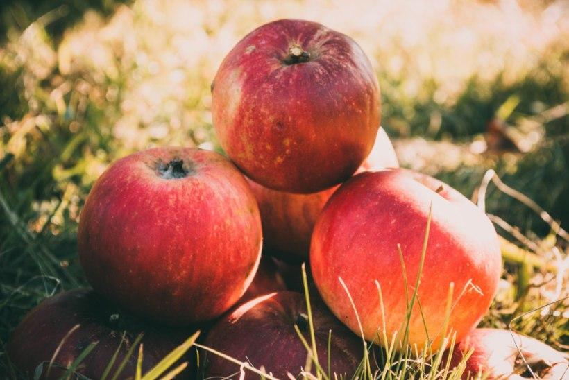 KOKKA KOOS LAPSEGA: pehmed õuna-kaeraküpsised